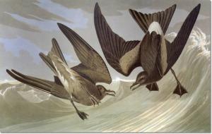 audubon-i-divers-and-coastal-wanderers-leachs-storm-petrel-aka-fork-tailed-petrel