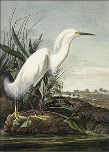 john-james-audubon-snowy-heron-82600